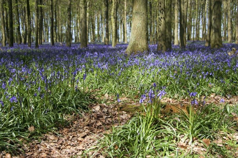 древесины весны сельской местности bluebell английские стоковые фотографии rf