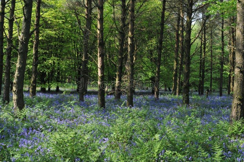 Древесины 1 Bluebell стоковое изображение
