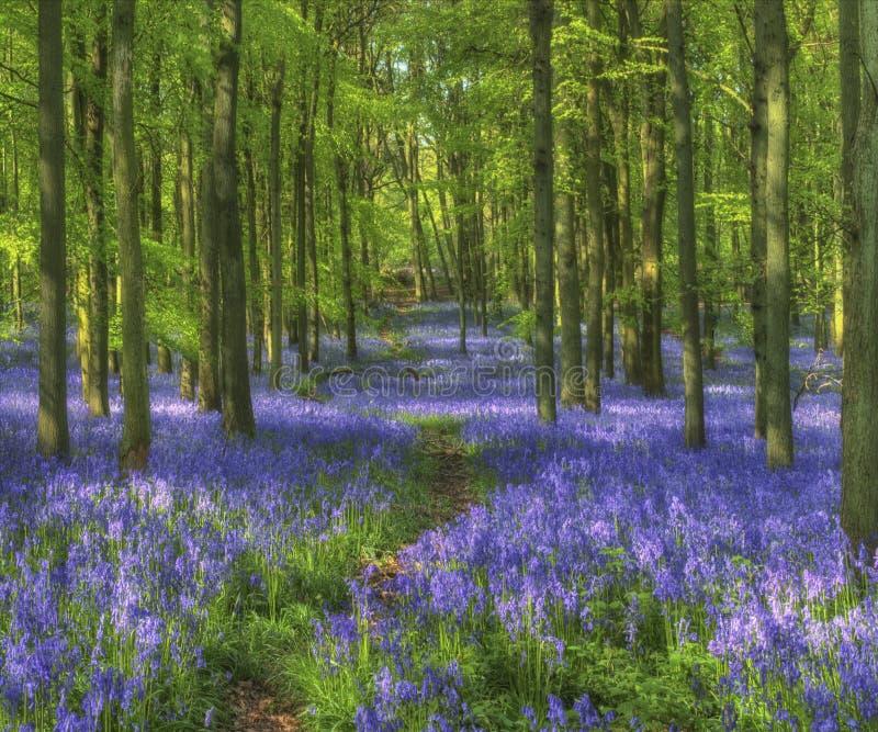 Древесины Bluebell, древесина Dockey, Хартфордшир стоковые фотографии rf