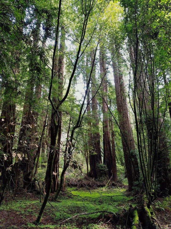 Древесины Muir стоковое изображение rf