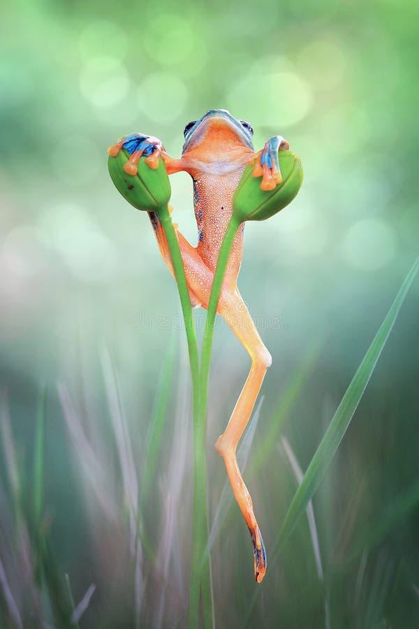 Download Древесная лягушка, лягушка летая на ветви Стоковое Фото - изображение: 104865002