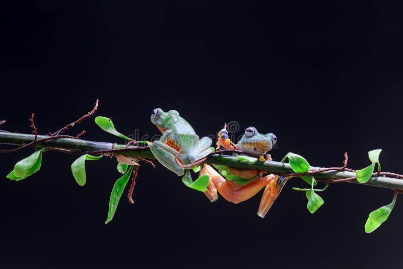 Древесная лягушка, лист дерева на ветви лист стоковое изображение