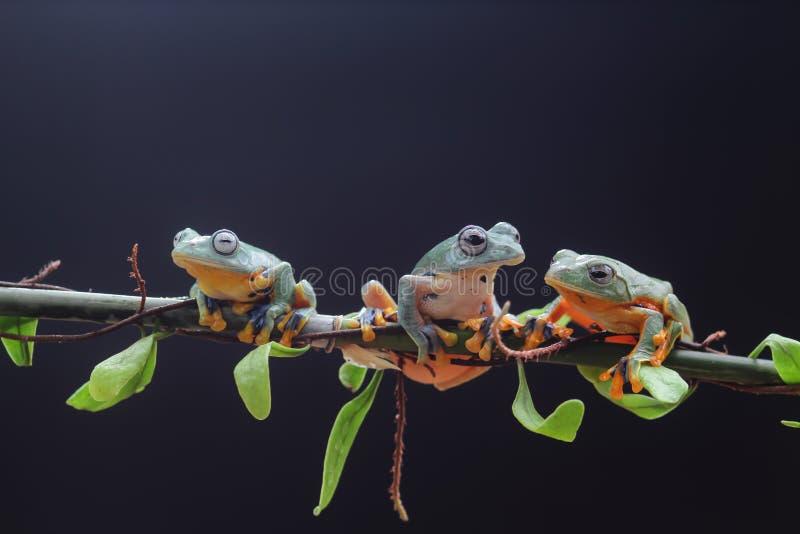 Древесная лягушка, лист дерева на ветви лист стоковая фотография