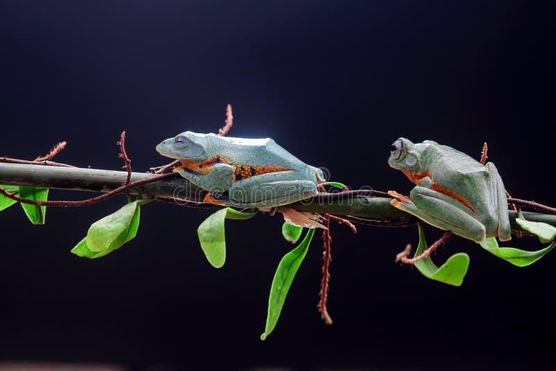 Древесная лягушка, лист дерева на ветви лист стоковое изображение rf