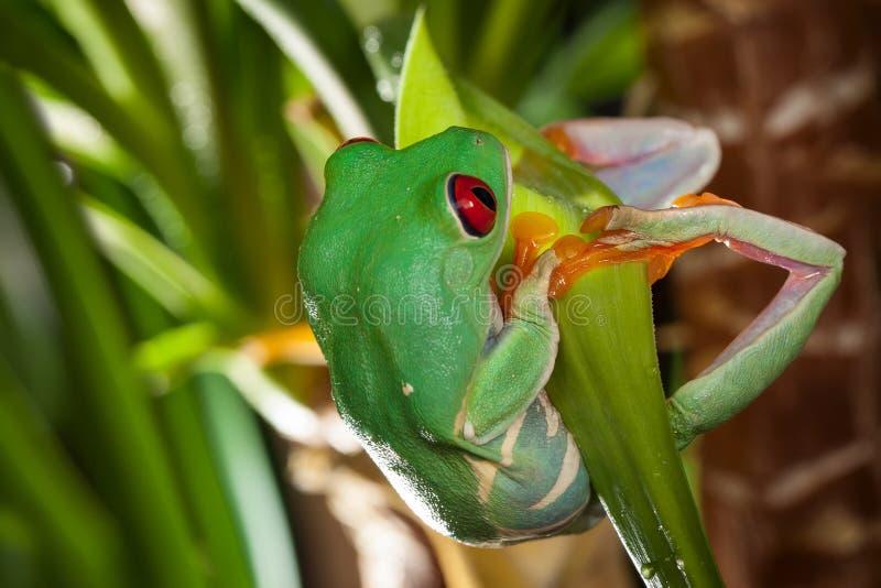 Древесная лягушка наблюданная красным цветом отбрасывает на зеленых лист стоковая фотография rf