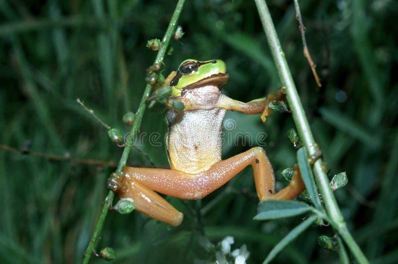 Древесная лягушка на зеленых лист стоковые фото