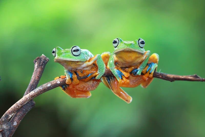 Древесная лягушка Javan сидя на ветви стоковая фотография rf