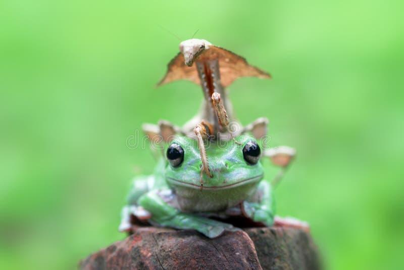 Древесная лягушка, mantis, животные, макрос, bokeh, насекомое, природа, стоковое изображение