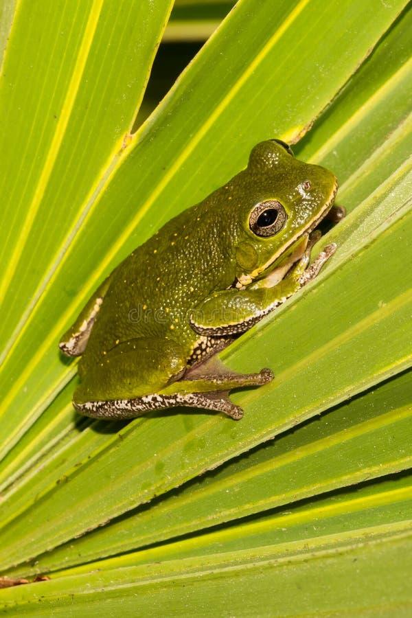 Древесная лягушка лаять стоковые фотографии rf