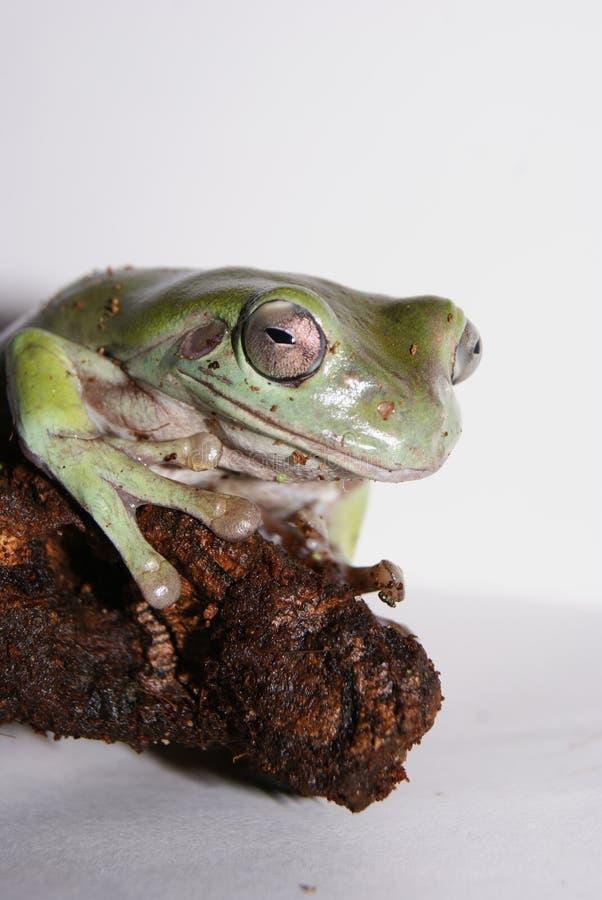 Древесная лягушка белизны стоковая фотография rf