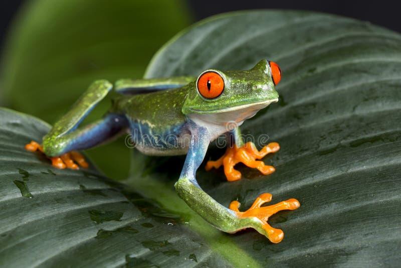 Древесная лягушка наблюданная красным цветом стоковое изображение rf