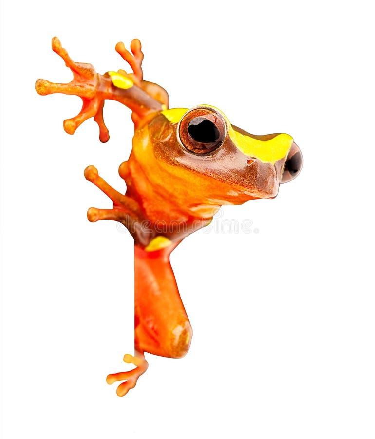 Древесная лягушка дождевого леса Амазонки на белизне стоковое изображение