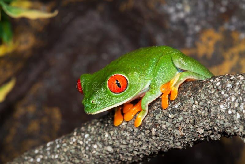 Древесная лягушка стоковые изображения rf