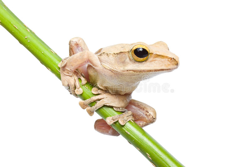 Древесная лягушка стоковое фото
