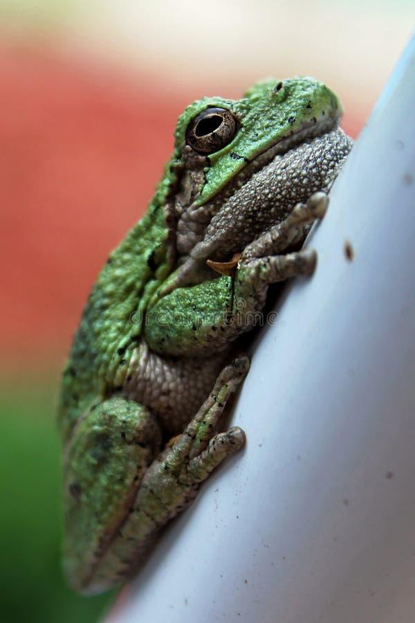 Древесная лягушка стоковые фотографии rf