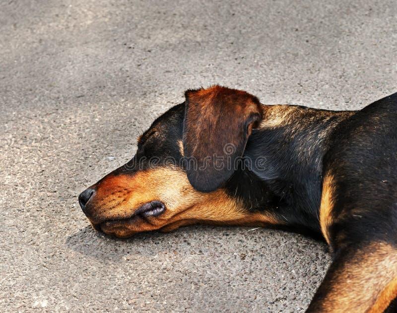 Дрифтер желтый и черная собака спать на асфальте стоковые изображения