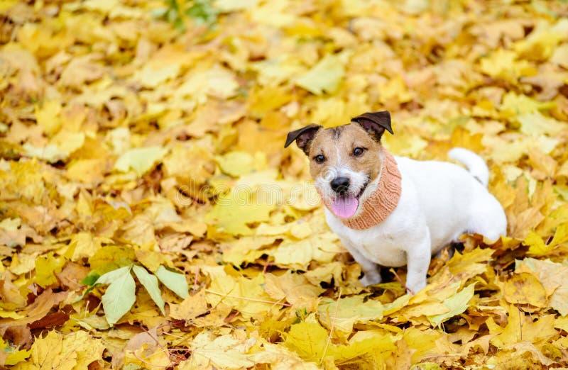 Дружелюбная собака сидя на ковре желтого цвета осени упаденных кленовых листов стоковые изображения rf