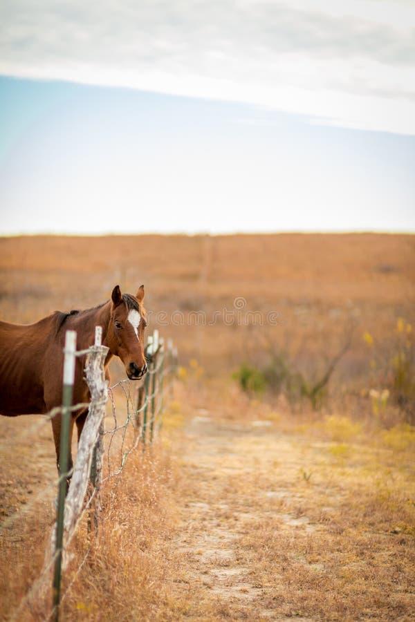 Дружелюбная квартальная лошадь в выгоне стоковая фотография rf