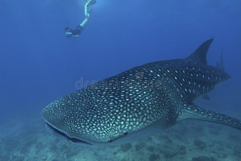 Дружелюбная китовая акула стоковое изображение