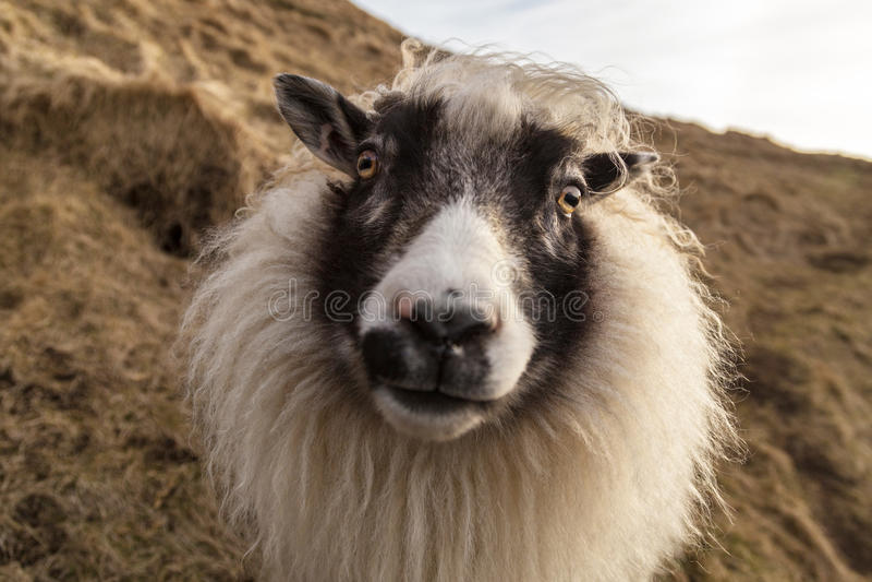 Дружелюбные белые и черные исландские овцы на склоне холма l стоковое изображение