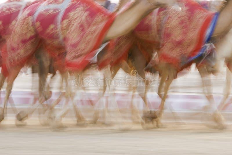 Дубай ОАЭ запачкал движение верблюдов бежать во время тренировки на беговой дорожке верблюда Sheba Al Nad стоковая фотография rf
