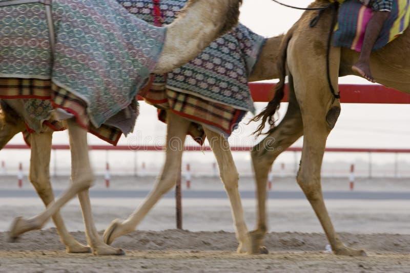 Дубай ОАЭ запачкал движение верблюдов бежать во время тренировки на беговой дорожке верблюда Sheba Al Nad стоковое фото rf