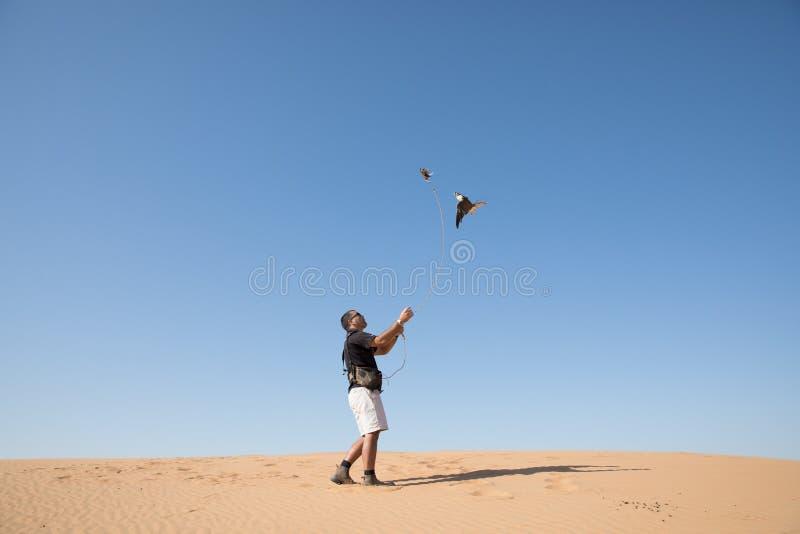 Дубай, Объединенные эмираты - 2-ое декабря 2016 Сокол во время тренировки falconry в пустыне улавливая прикорм стоковая фотография rf