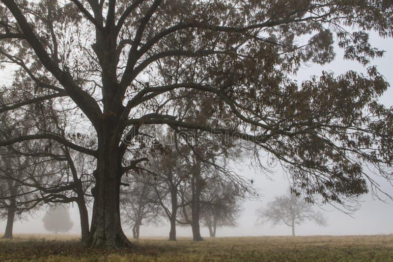Дубы в поле с туманом, показывая расстояние стоковое фото