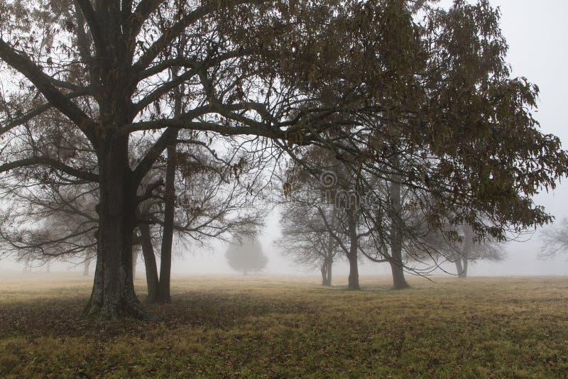 Дубы в поле с туманом, показывая расстояние стоковые изображения