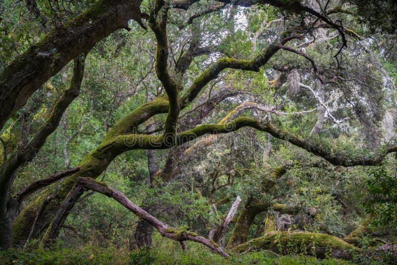 Дубы в реальном маштабе времени покрытые мхом, Калифорния стоковые фотографии rf