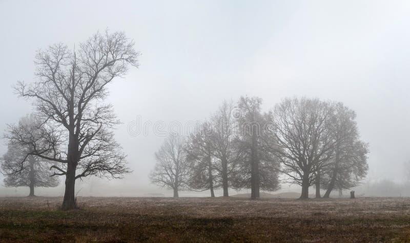 Дубы и другие деревья стоят в густом тумане в открытом поле стоковое фото rf