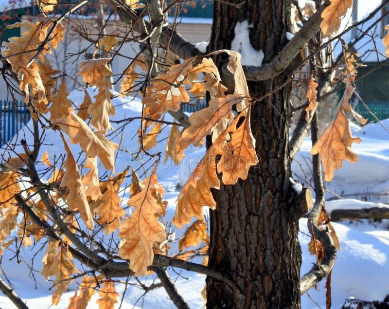 Дуб выходит замороженный на дерево стоковое изображение