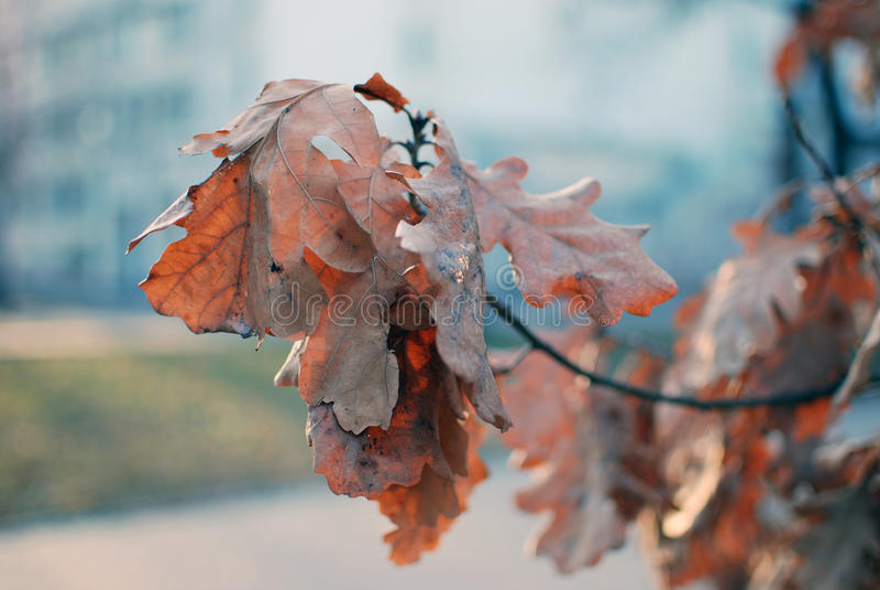 Дуб в холодном дне стоковая фотография rf