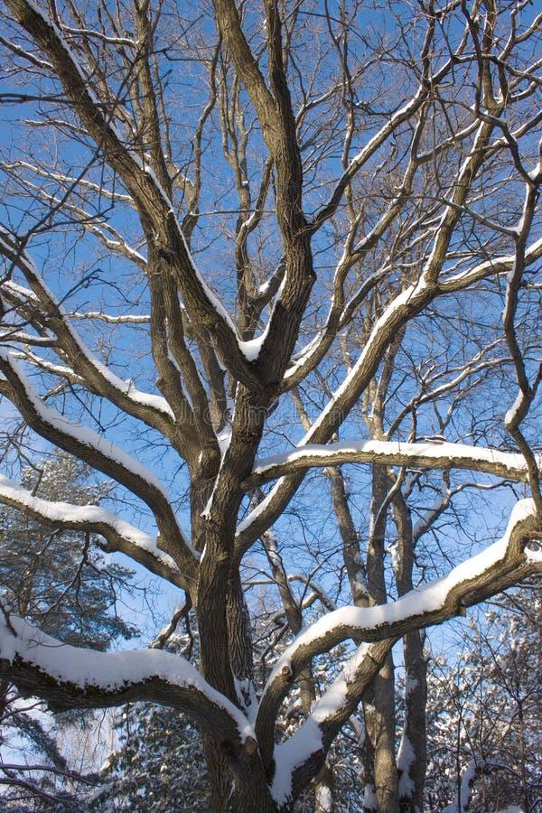 Дуб-дерево в древесине зимы стоковое изображение