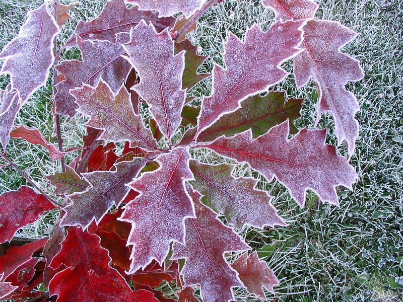 Дуб лист красный, заморозок осени стоковая фотография rf
