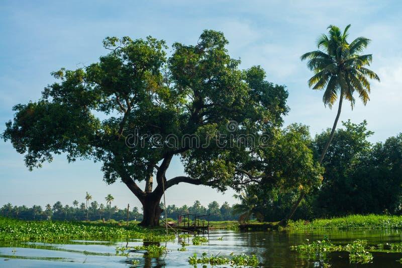 Дуб и кокосовая пальма вдоль водораздела в Керале, Индии стоковые изображения rf