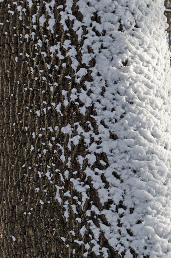 Дуб красоты покрытый с снегом в парке зимы, Софии стоковое фото rf