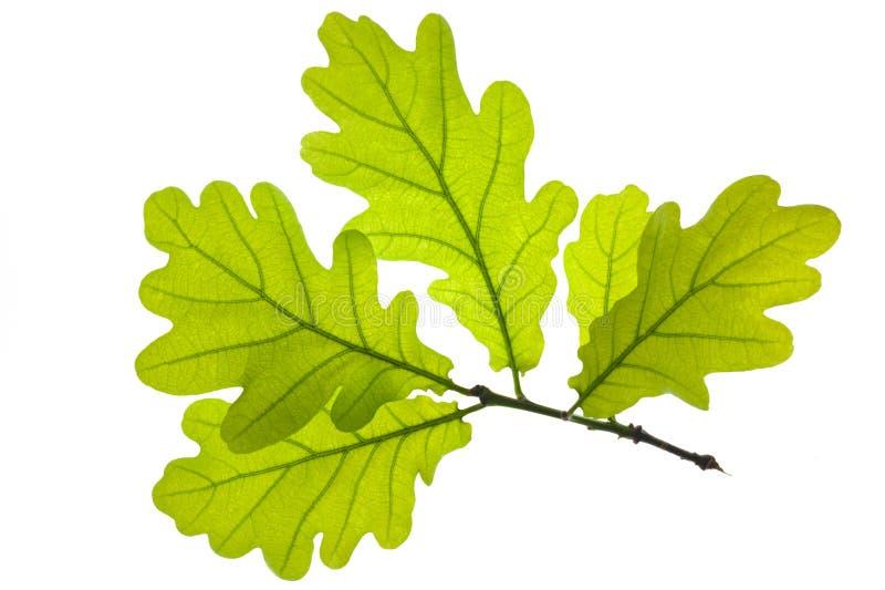 дуб листьев стоковая фотография
