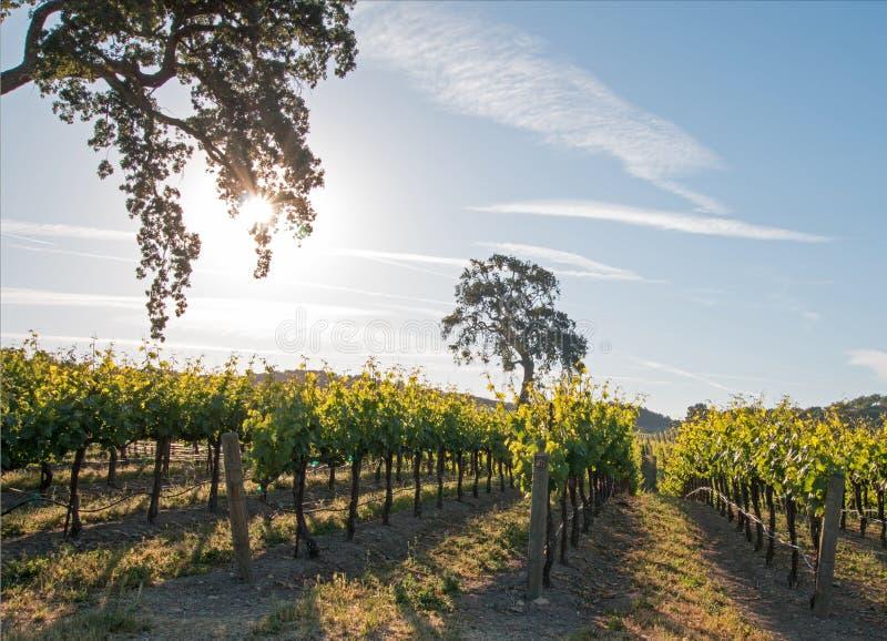 Дуб долины Калифорнии в винограднике на восходе солнца в винограднике Paso Robles в Central Valley Калифорнии США стоковые фото