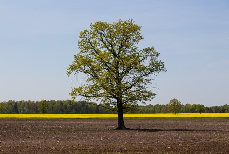Дуб среди вспаханного поля против фона леса и поля цвести канола стоковые фото