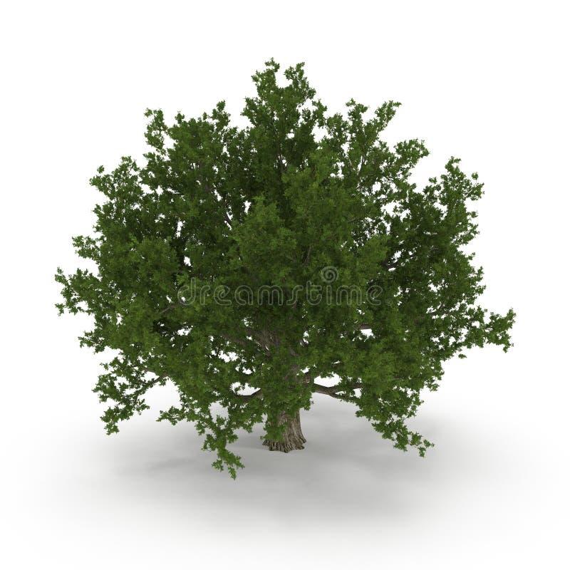 Дуб старого зеленого лета красный изолированный на белизне иллюстрация 3d бесплатная иллюстрация