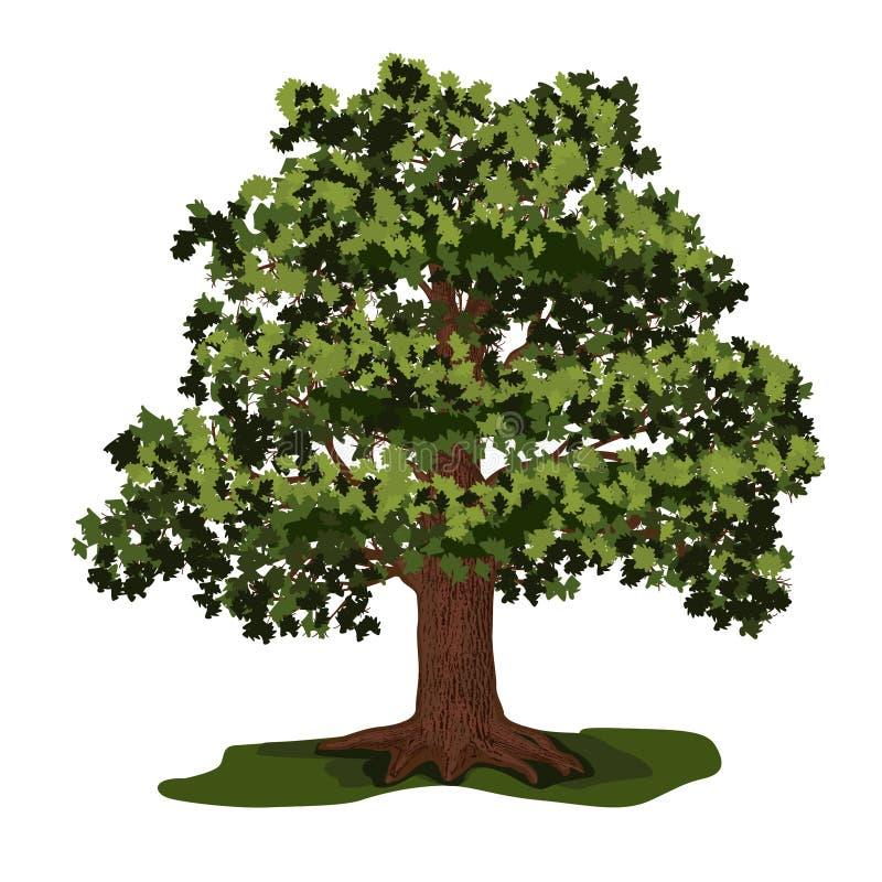 Дуб с зелеными листьями иллюстрация штока