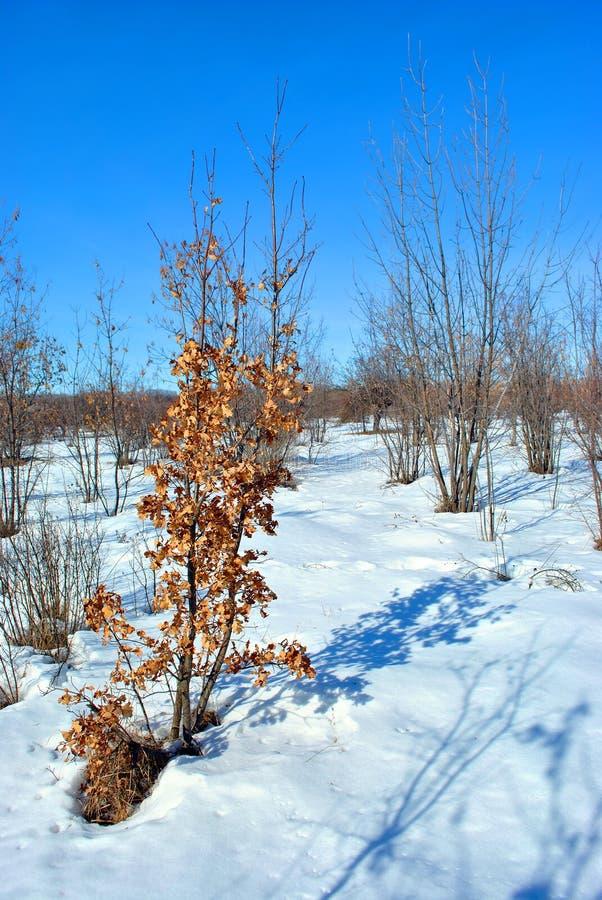 Дуб с яркими желтыми сухими листьями на луге покрытом со снегом, голуб стоковая фотография