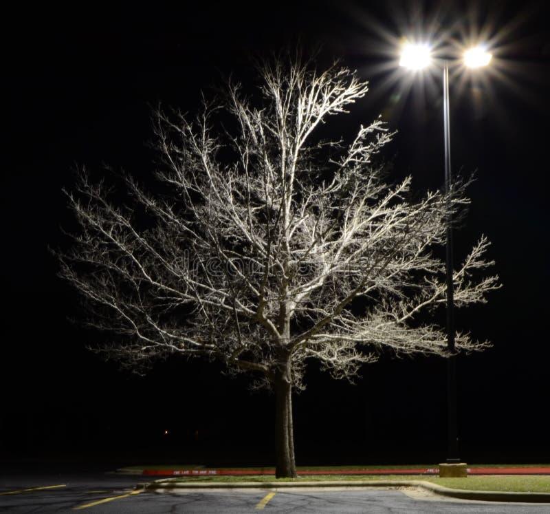 Дуб Техаса красный на texana Quercus ночи стоковое фото