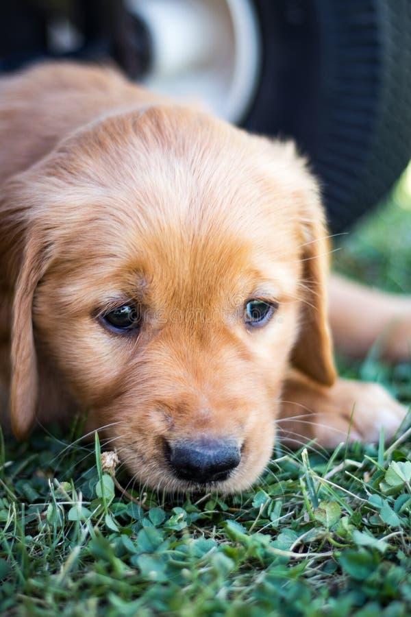 Думая щенок золотого retriever стоковая фотография