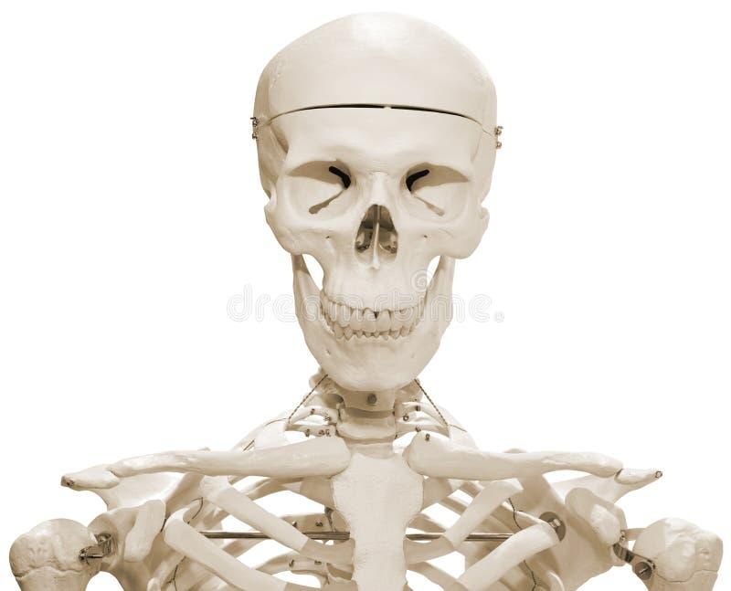 думмичный скелет стоковое изображение