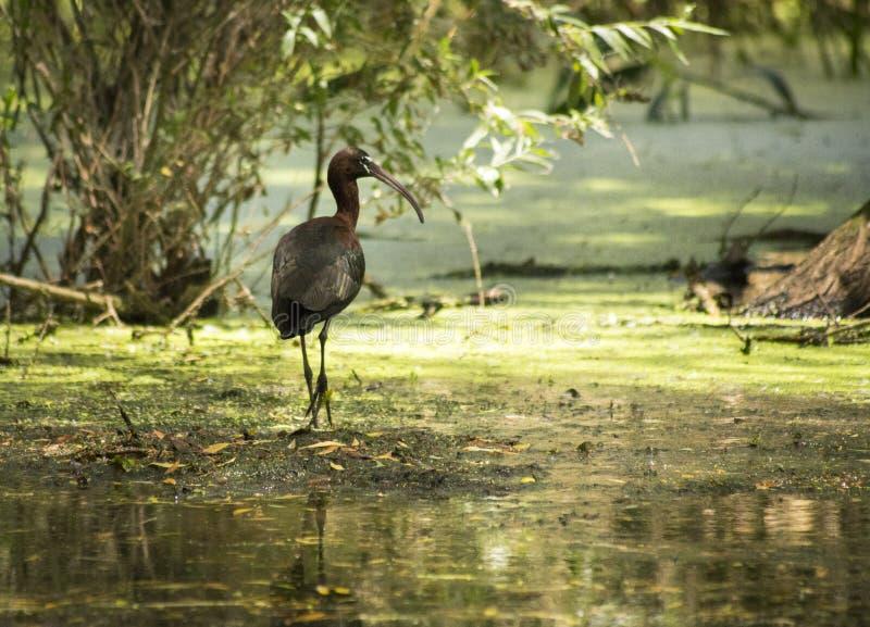 Дунай Dellta Ibis стоковые фотографии rf