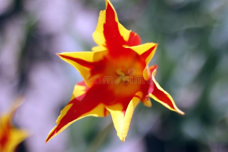 Душа оранжевых тюльпанов горячая весны стоковые фотографии rf