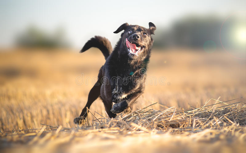 Душевнобольно счастливый ход собаки стоковое фото rf