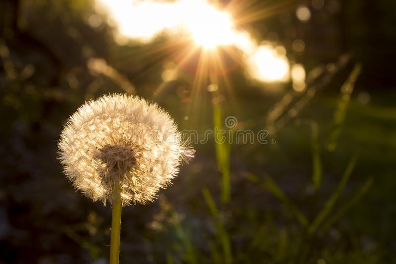 Дуя одуванчик в заходе солнца стоковое фото rf